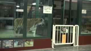円山動物園のライオン、ティモン(メス)と、アムールトラのアイ(メス)。...