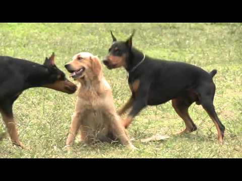 Expertos explican por qué hay que sacrificar a perros con Leishmaniasis