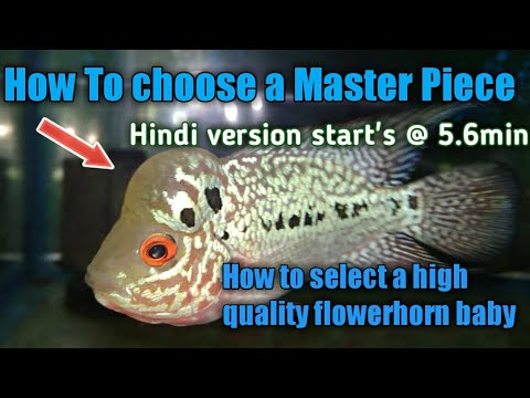 How To Choose A High Quality Flowerhorn Baby, Fry | Ache Quality Ka Flowerhorn Kaise Choose Kare