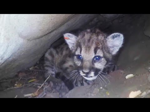 Den of Feisty Mountain Lion Kittens Discovered in California