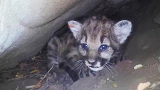 Den of Feisty Mountain Lion Kittens Discovered in California