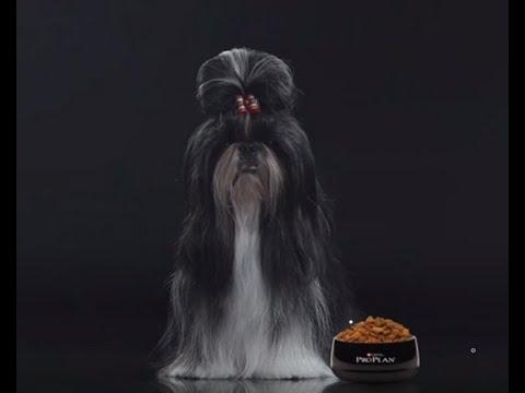 Основой питомника являются собаки породы ши-тцу. Кипра, беларуси, украины, молдавии, грузии, армении, азербайджана, казахстана. Интерес к.