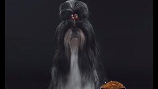 Ши-тцу ➠ Узнайте все о породе собаки