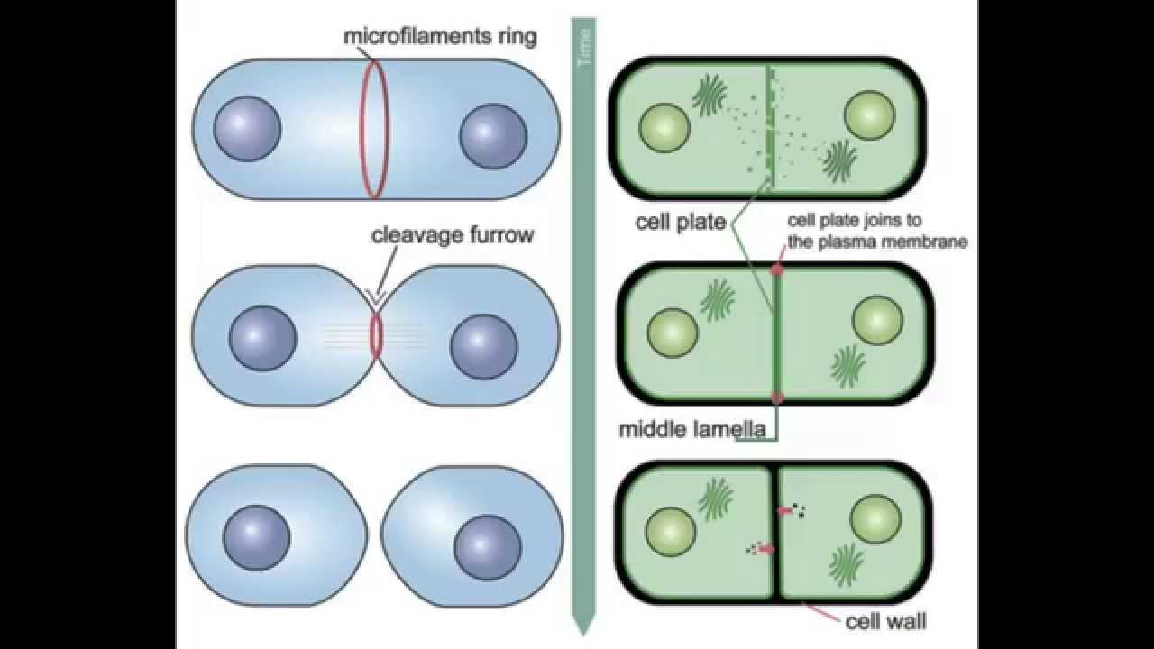 Cytokinesis - Animal vs Plant - YouTube