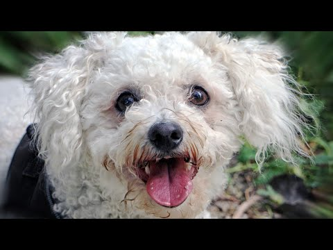 Bichon Frise | amazing facts in hindi| Animal Channel Hindi