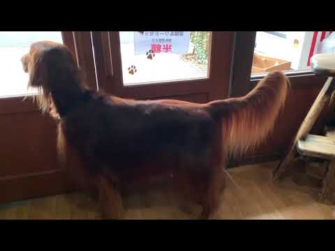 Irish Setter trimmed and beautiful Ⅱ