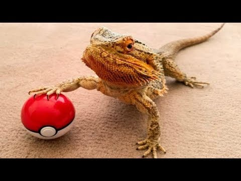 BEARDED DRAGON - A Cute And Funny Bearded Dragon Videos Compilation || PET VIDEOS