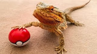 BEARDED DRAGON - A Cute And Funny Bearded Dragon Videos Compilation    PET VIDEOS