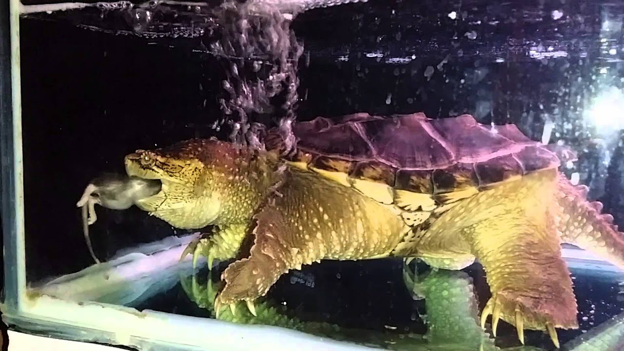 Pied ball python eats rat-snapping turtle eats rat