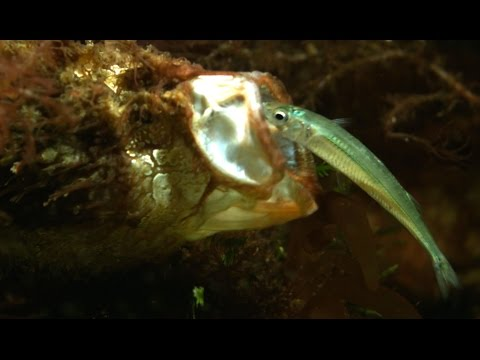 Extreme Fishing - Fish That Fishes With A Rod And Lure Fused To Its Face