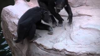 Chimp Eating Own Shit