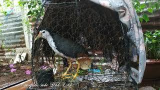 Tiếng Chim Cuốc mồi kêu - Suara Burung Ruak Ruak  MP3