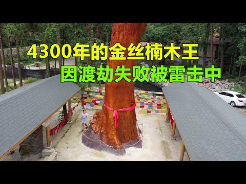 令人意外!贵州一棵活了4300年的金丝楠木王,因渡劫失败被雷击中【青云迹】