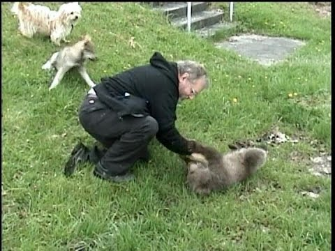 I have Fun Playing with GRIZZLY BEAR CUB & WOLF CUB -  © Denmortube