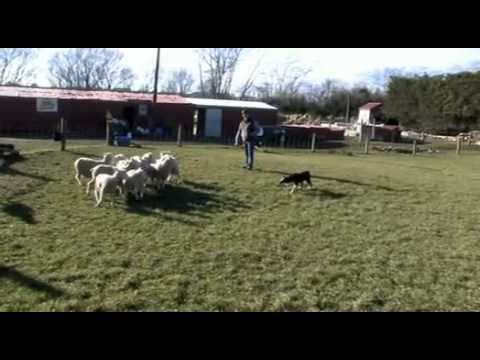 Pip, Eve and Jip working a small mob of lambs
