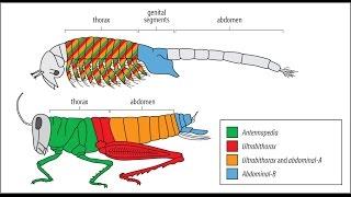¿CÓMO SE PRODUCEN LOS GRANDES SALTOS EN LA EVOLUCIÓN BIOLÓGICA? GENES Y DESARROLLO