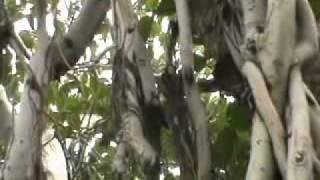 Banyan Tree or Bor or Bargudh or Ficus benghalensis Kamoke Flora