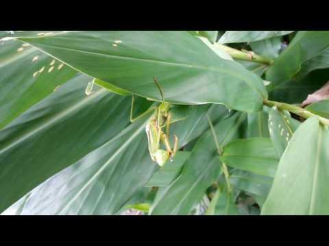 Mantis & Jamides alecto dromicus with its eyespots (fake head) 螳螂和白波紋小灰蝶