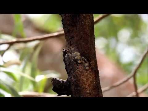 Kamehameha Butterflies
