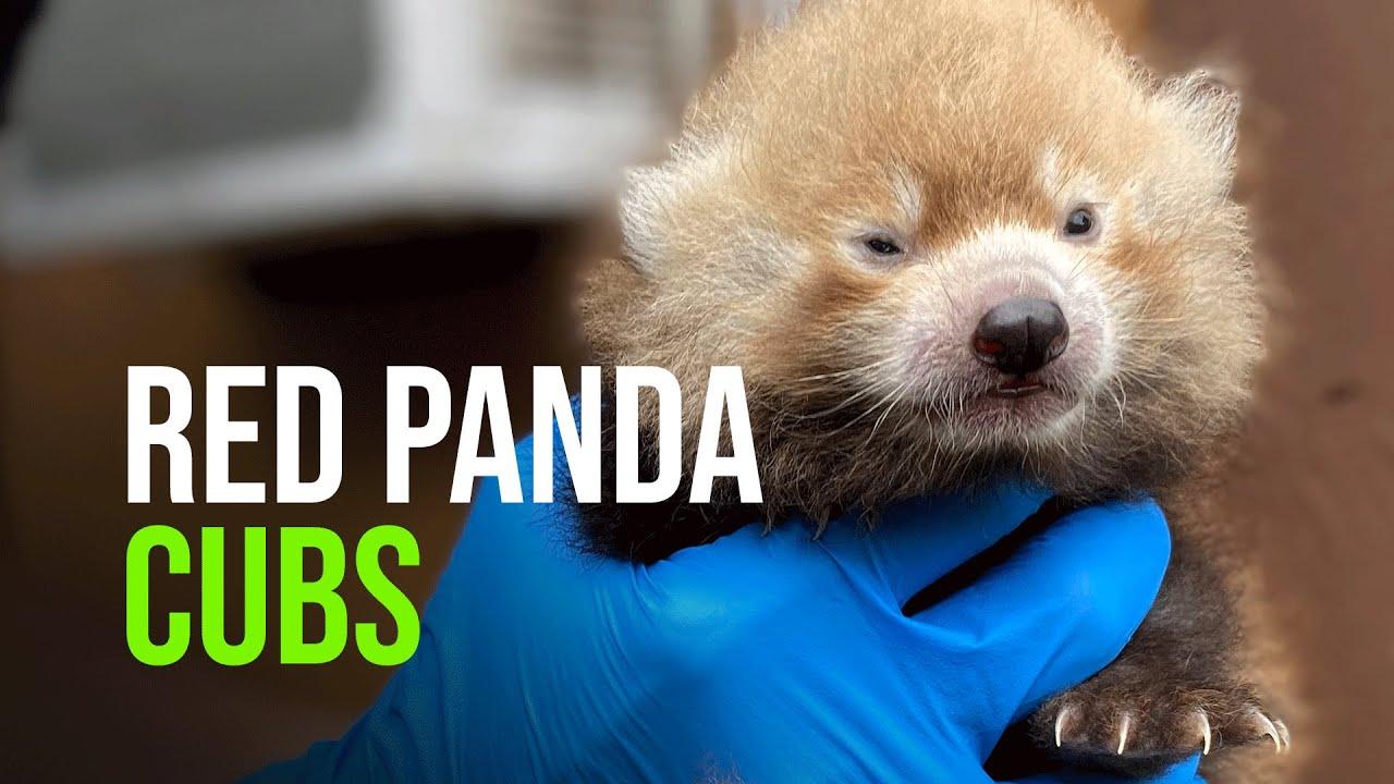 Download Red Panda Cubs Born At The Potawatomi Zoo