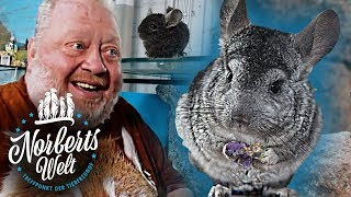 TRAURIGE WAHRHEIT - CHINCHILLAS ZUR FELLGEWINNUNG | NORBERTS WELT | Zoo Zajac