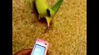 �������� ���� Попугай танцор! ������