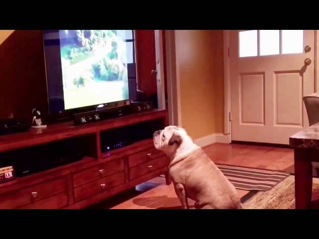 Bulldog sits too close to the TV…..