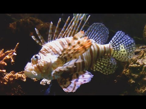 Beautiful But Deadly Lionfish Disrupt The Caribbean Coast