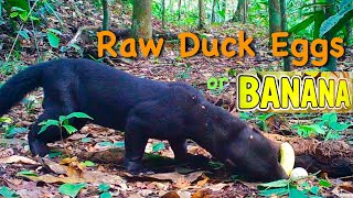 Jungle Tayra & Wild Animals Eating (raw) Wild Duck Eggs ~ Trail Camera Footage