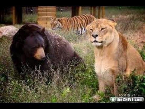 Zanesville Exotic Animals Escape / Lion & Bear Fight - YouTube