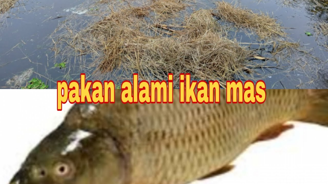 Pakan Alami Ikan Mas Cepat Besar Youtube