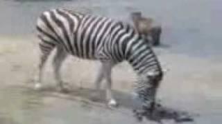徳島動物園の5月生まれのカピバラの赤ちゃん。 シマウマの鼻息でびっく...
