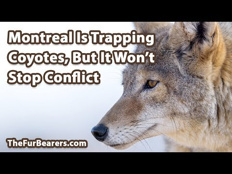 Montreal is Trapping Coyotes