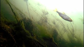 River Lea Dobbs Weir Underwater Big Snag Roach Perch