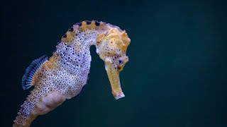 WATCH: Longsnout seahorse pairs remain together for life | Oceana