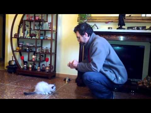 Hercules and the Cat Clicker Training: Episode I