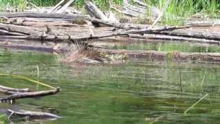 Snapping Turtle Attacks Porcupine