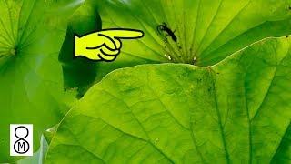 ハスの葉にトカゲ?