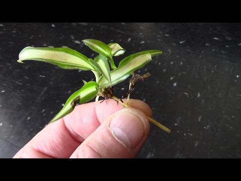 Spider Plant Aquarium Garden
