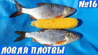 Ловля плотвы на КУКУРУЗУ! Рыбалка на удочку в августе.