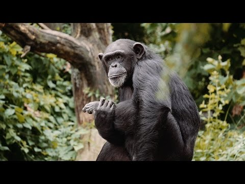 Chimpanzee at the Zoo - 4K - St. Louis Zoo - Beethoven's 9th