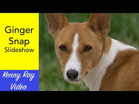 My Basenji, Ginger Snap -- Slideshow