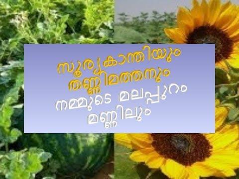 watermilon&sunflower farming in malappuram