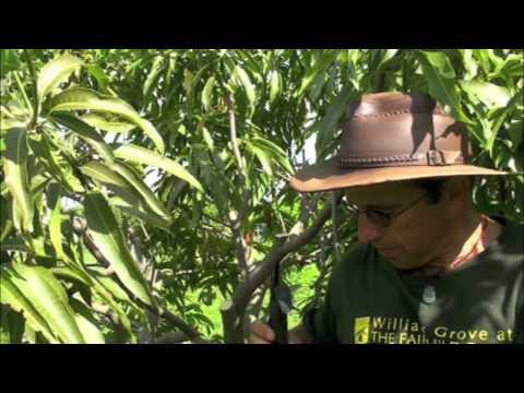 Pruning Vigorous Mango Trees
