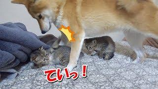 子猫が家族になって一ヶ月♪今日も柴犬と仲良く元気に過ごしてます🐾--- A month passes after a kitty became our family--- thumbnail