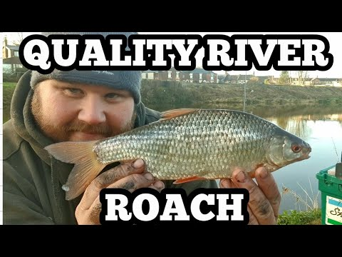 Quality Roach Fishing On The River Ribble