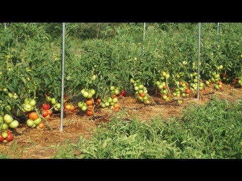 Impressive Big Beef Tomatoes, Gardening, & Prepping