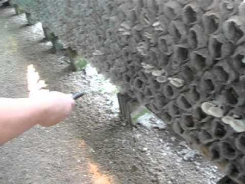 ฉีดไล่แมลงหวีดำ ทริปโตฝาจ บิวเวอเรีย ไล่แมลง ราแดง แมลงหวี .AVI