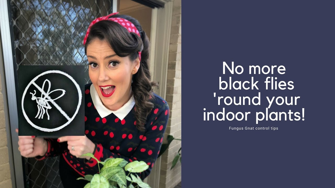 No more black flies 'round your indoor plants - Fungus Gnat Control tips //  The Gardenettes