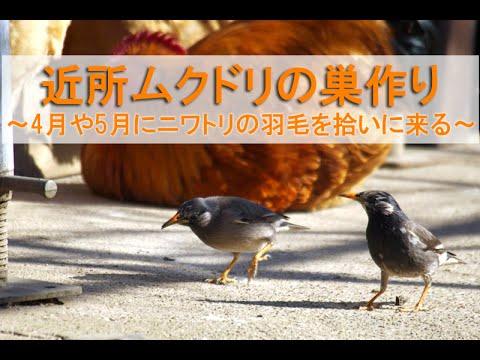 近所ムクドリの巣作り~4月や5月にニワトリの羽毛を拾いに来る~